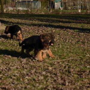 Cuccioli-Pastore-Tedesco-Casa-Mary-233