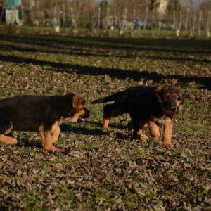 Cuccioli-Pastore-Tedesco-Casa-Mary-251