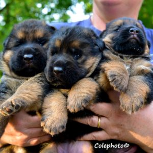 Cuccioli-Pastore-Tedesco-Casa-Mary-3