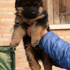 Cuccioli-Pastore-Tedesco-Casa-Mary-329