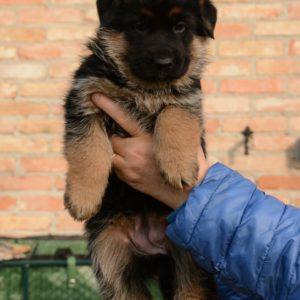 Cuccioli-Pastore-Tedesco-Casa-Mary-333