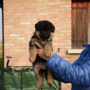 Cuccioli-Pastore-Tedesco-Casa-Mary-334