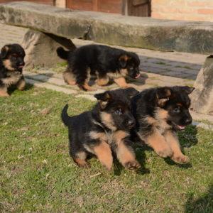 Cuccioli-Pastore-Tedesco-Casa-Mary-343