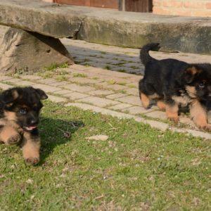 Cuccioli-Pastore-Tedesco-Casa-Mary-349