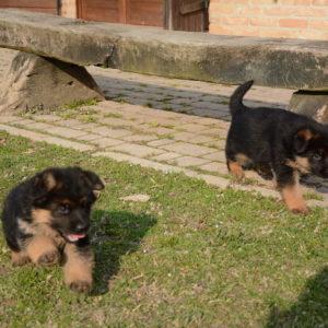 Cuccioli-Pastore-Tedesco-Casa-Mary-351