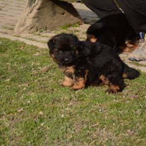 Cuccioli-Pastore-Tedesco-Casa-Mary-354