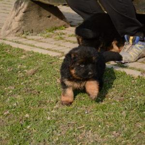 Cuccioli-Pastore-Tedesco-Casa-Mary-357