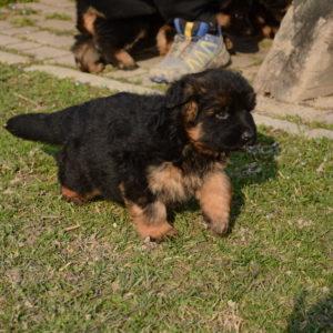 Cuccioli-Pastore-Tedesco-Casa-Mary-359