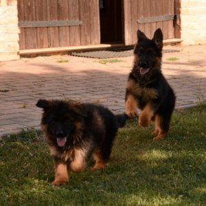 Cuccioli-Pastore-Tedesco-Casa-Mary-69