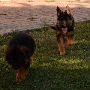 Cuccioli-Pastore-Tedesco-Casa-Mary-70