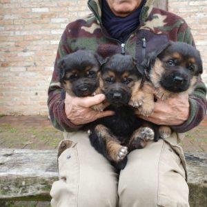 Cuccioli Pastore Tedesco Casa Mary 912